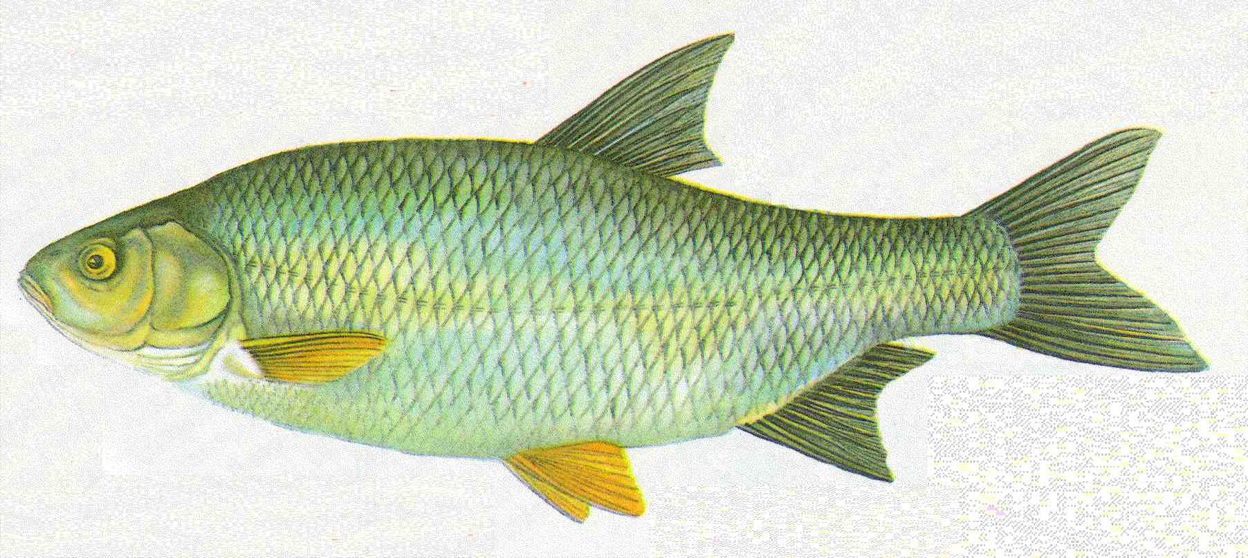 Bernhardsthal teich nerfling aland for Fische kleiner teich