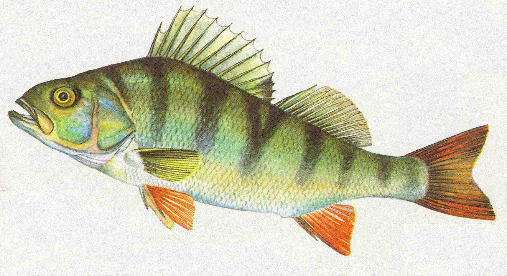 Bernd teich bilder news infos aus dem web for Fischarten teich
