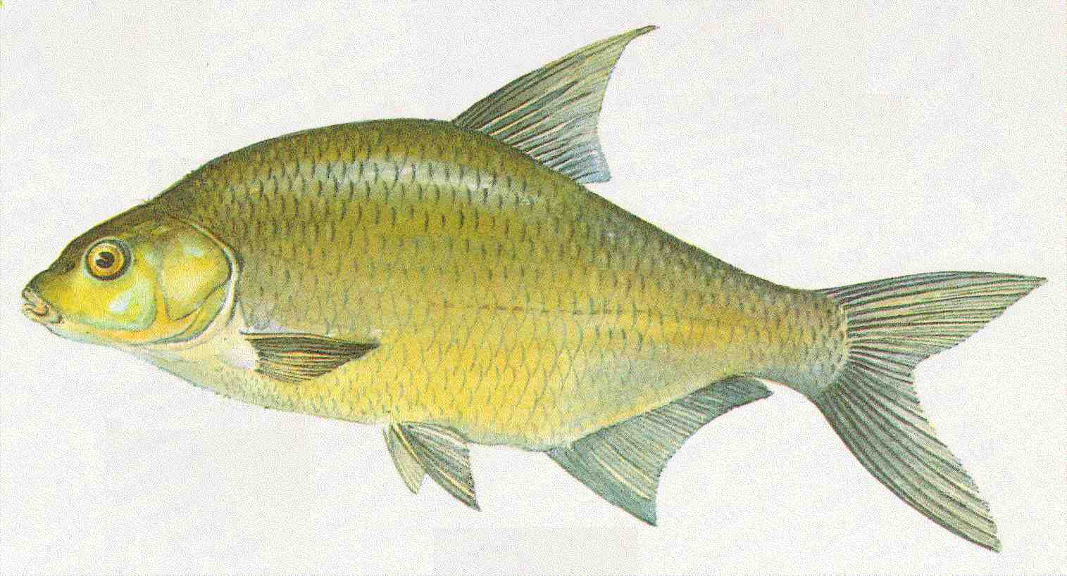 Bernhardsthal teich brachsen for Fische in teichen