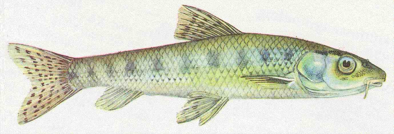 Bernhardsthal teich gr ndling for Algenvernichter teich fische