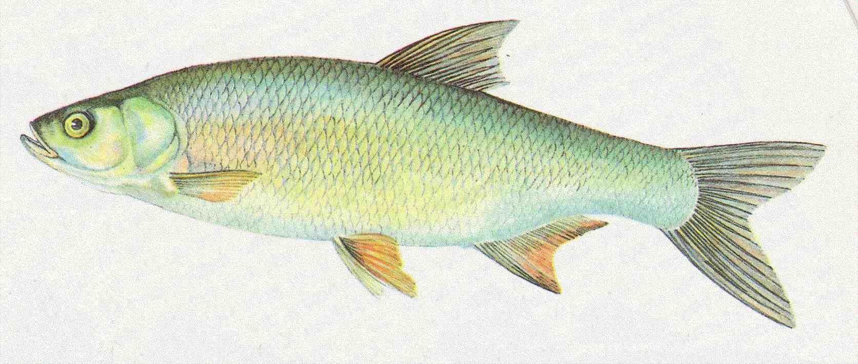 Bernhardsthal teich schied for Fische algenfresser teich