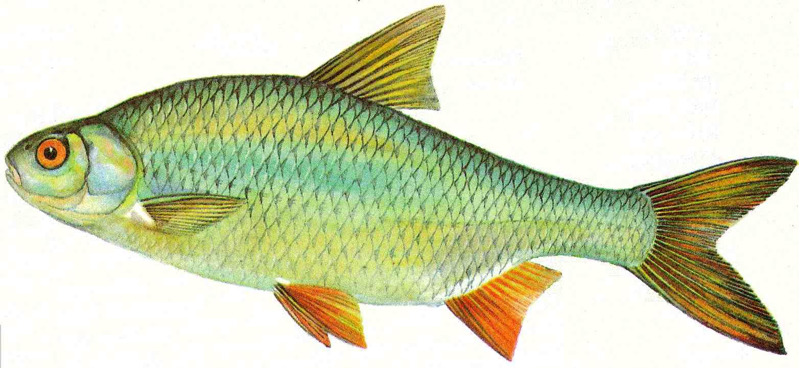 Bernhardsthal teich rotauge for Fische in teichen