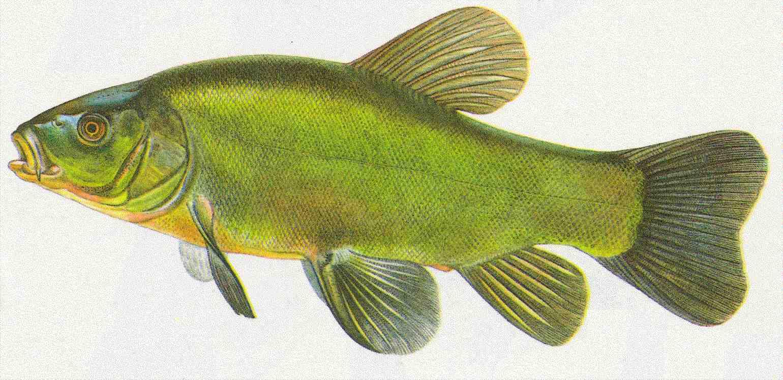 Bernhardsthal teich schleie for Fischarten im teich