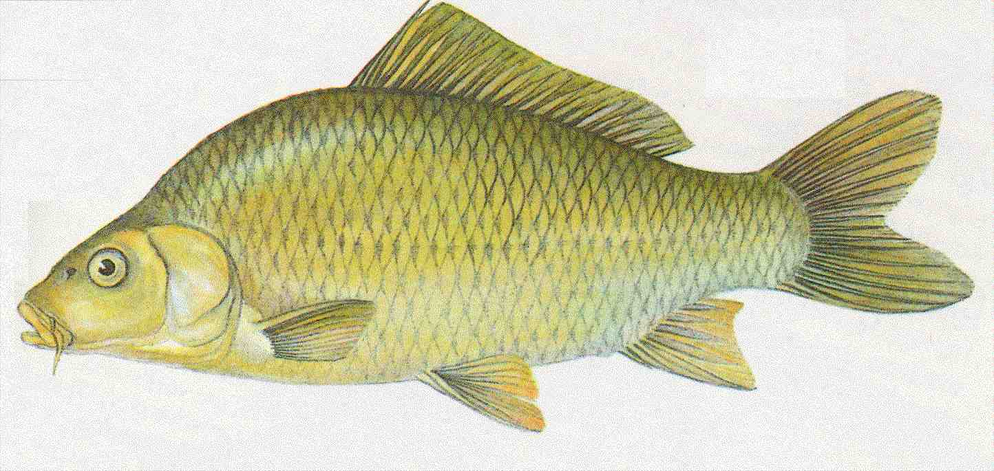 Bernhardsthal teich karpfen for Algenvernichter teich fische