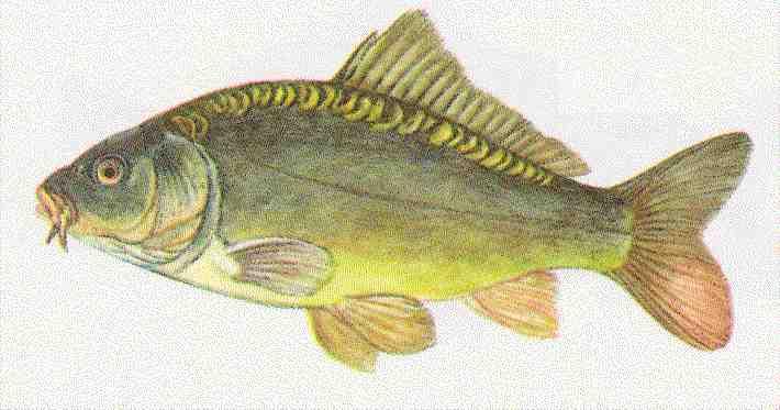 Bernhardsthal teich karpfen for Fische kleiner teich