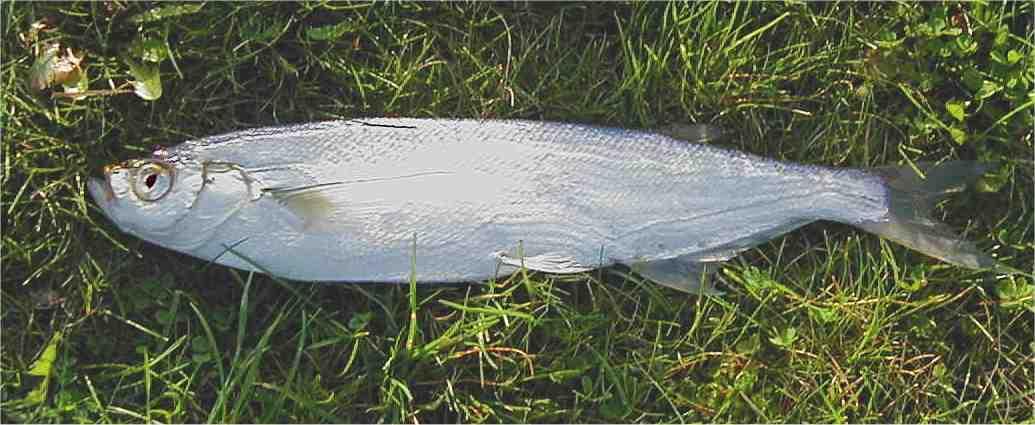 Bernhardsthal teich sichling for Fische algenfresser teich